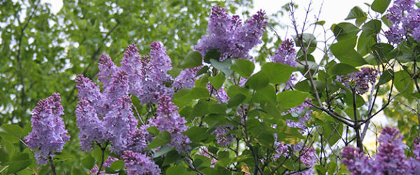 Lilacs and the Scent of Hope