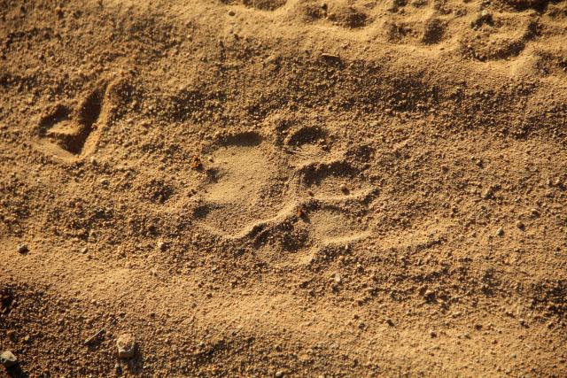 Lion Footprint from http://traveluxblog.com/author/sbrnldk/